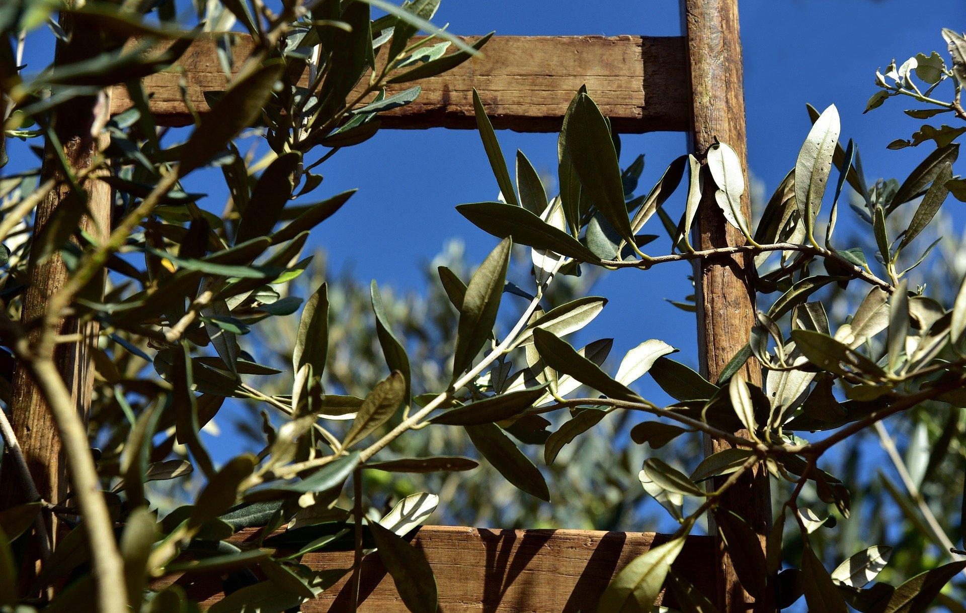 Piante Da Regalare A Pasqua l'olivo, l'albero simbolo della pasqua - blog - master